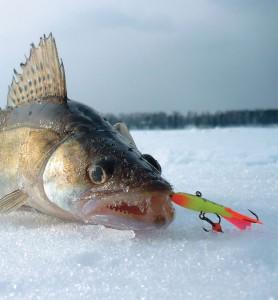 Рыболовный прессинг. В тростнике видит око, да зуб неймет